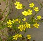 Ranunculus flammula Lesser Spearwort