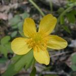 Ranunculus hispidus Hispid Buttercup