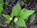 Rubus pubescens Dwarf Raspberry