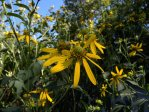Rudbeckia laciniata Cut-leaf Coneflower