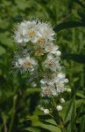 Spiraea alba White Meadowsweet
