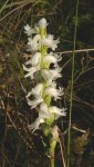 Spiranthes cernua Nodding Ladies'-tresses