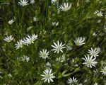 Stellaria longifolia Long-leaf Starwort