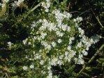 Symphyotrichum ericoides Heath Aster