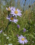 Symphyotrichum laeve Smooth Blue Aster