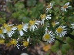 Symphyotrichum ontarionis Ontario Aster