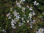 Symphyotrichum urophyllum Arrowleaf Aster