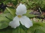 Trillium grandiflorum Large-flowered Trillium