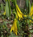 Uvularia grandiflora Large-flowered Bellwort