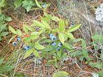 Vaccinium angustifolium Lowbush Blueberry