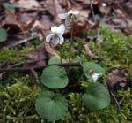 Viola blanda Sweet White Violet