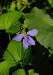 Viola cucullata Marsh Blue Violet