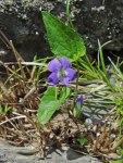 Viola novae-angliae New England Violet