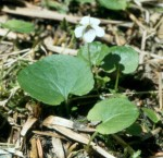 Viola renifolia Kidney-leaved Violet