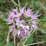 Allium stellatum Prairie Onion