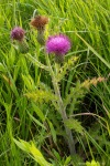 Hill's Thistle or Prairie Thistle in Flower 814413 Cirsium hillii