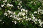 Clematis virginiana Virgin's Bower