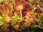 Drosera rotundifolia Round-leaved Sundew
