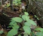 Phryma leptostachya American Lopseed