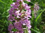 Platanthera psycodes Lesser Purple Fringed Orchid