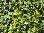 Ranunculus gmelinii Small Yellow Water Crowfoot