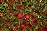 Vaccinium oxycoccus Small Cranberry