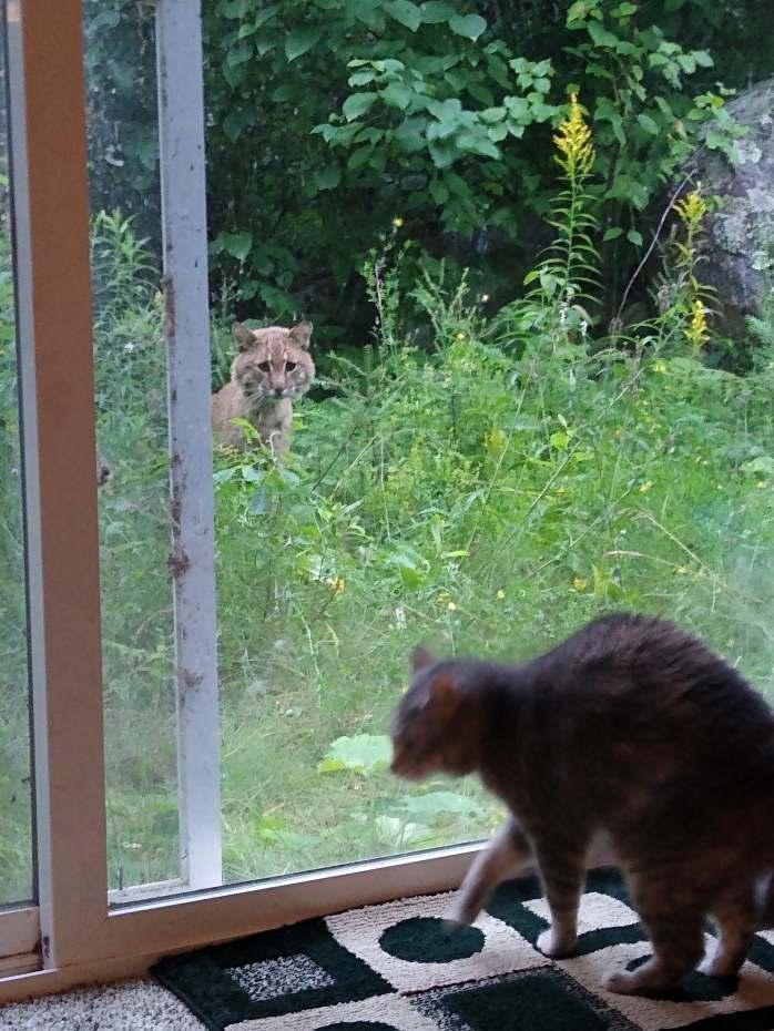 Bobcat - Northwind Lodge - Ely MN